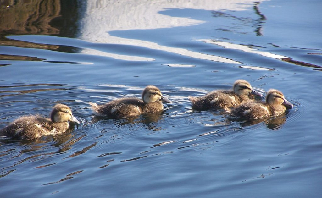 Duckings