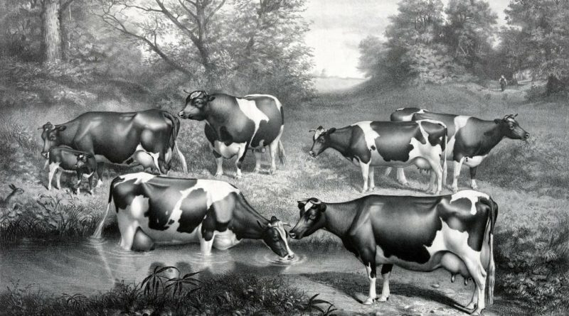 Animal agriculture: a herd of Holstein-Friesian cattle
